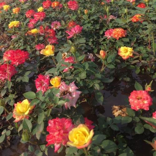 花卉苗木种植厂家总结花卉常见病虫害及防止方法