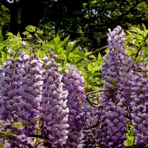 花卉苗木种植厂家聊聊罗汉松的盆栽要点