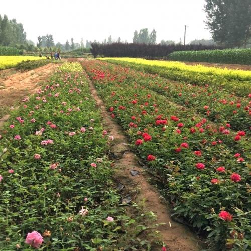 河南绿化盆栽苗木基地分享盆栽梅花的养护方法