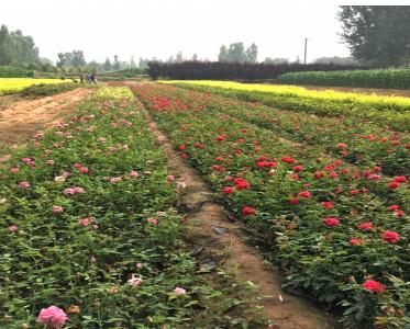 种植花卉的有效方法您知道吗?花卉盆栽苗木种植