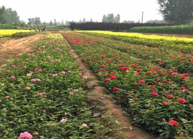关于花卉苗木种植厂家你了解多少呢?