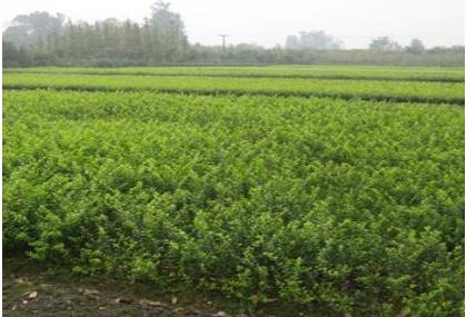 如何施肥花卉苗木种植厂家告诉你
