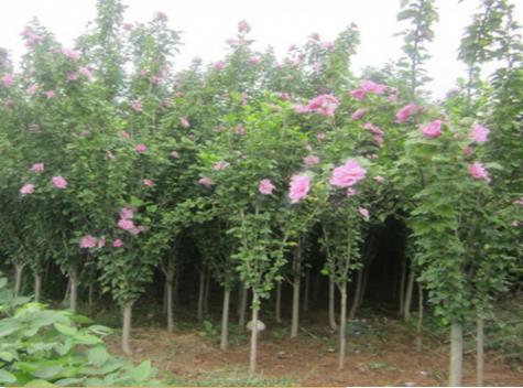 这样催芽,花卉苗木发芽率可提高数倍