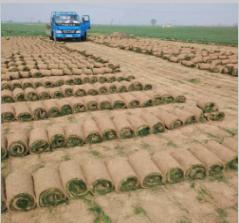 紫羊茅草坪种子多少钱一斤