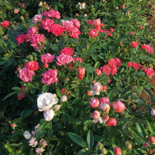 如何种植康乃馨