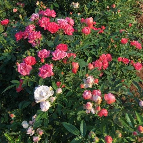 花卉苗木种植厂家售卖紫羊茅草坪种子多少钱一斤