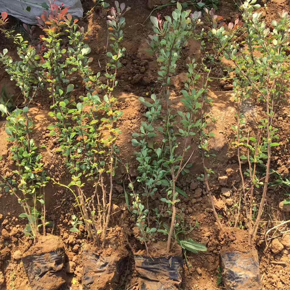 园林绿化小苗采购价格