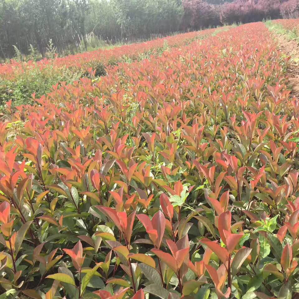 盆栽绿化小苗采购价格