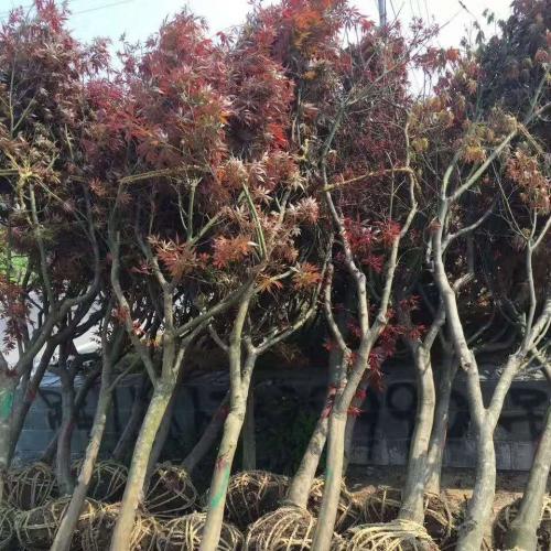 河北美国红枫