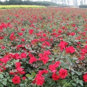 安阳四季玫瑰