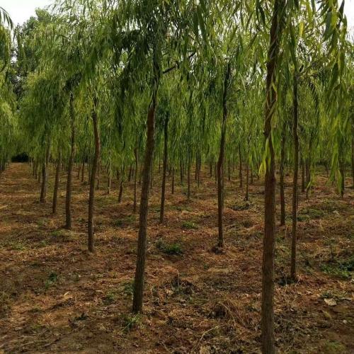 河北花卉苗木种植批发