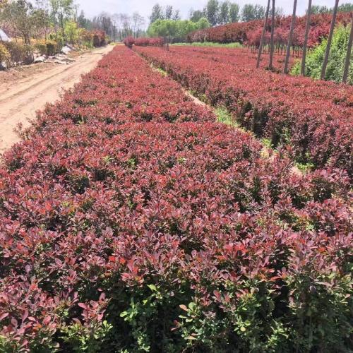 河北花卉苗木种植厂家