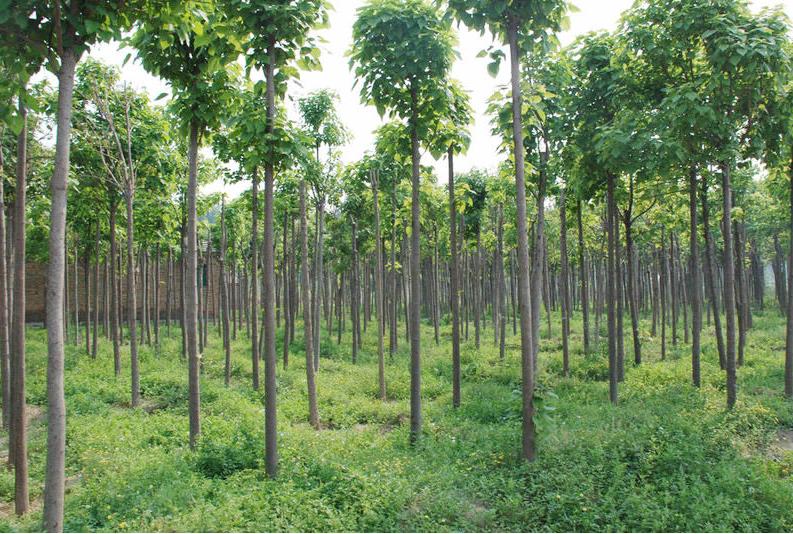绿化苗木种植批发
