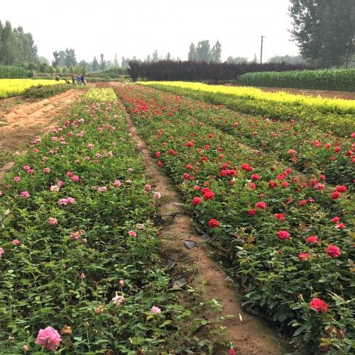 绿化盆栽苗木基地